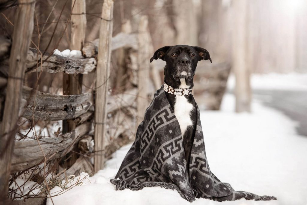 black dog wrapped in a cozy blanket to warm him in a cold snowy winter