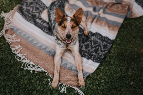 happy smiling australian cattle dog laying down on his cozy blanket
